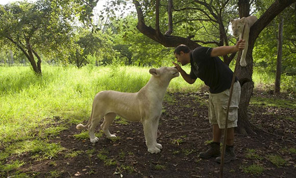 Interaction with lions at Casela World of Adventures