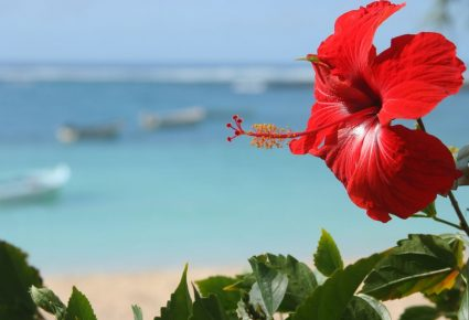 Hibiscus Rouge île Maurice